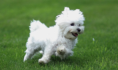 Bolognese Toy Dog Breed